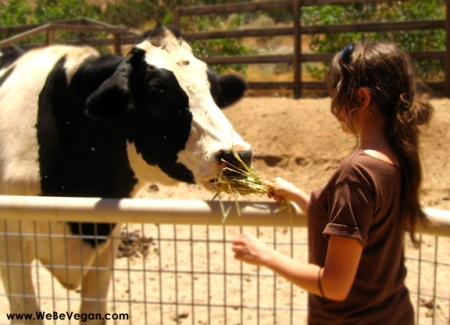 Rescued cow at Animal Acres/Farm Sanctuary, CA
